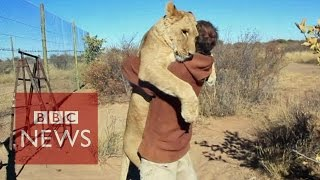 Lion hugger: This is how Sirga the lion greets her owner - BBC News thumbnail