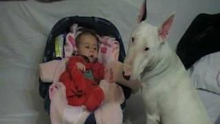 Bull Terrier Eating My Baby :d