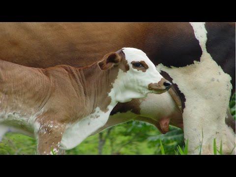 Clique e veja o vídeo Bovinos - Gado de Leite