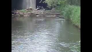 PENNSYLVANIA LIMESTONE SPRING CREEK - WILD BROWNS RISING TO SULPHUR DUNS  (PART 2/2)