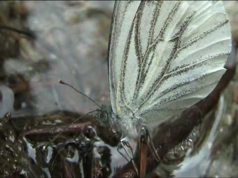 Bellissima Farfalla vicino un torrente - Beautiful Butterfly near a torrent