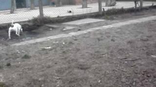 Nash - Staffordshire Bull Terrier Avaliable For Adoption