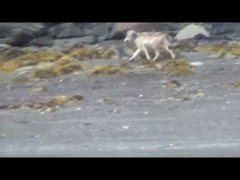 Wolf jogs down the shore near Port Simpson, BC.