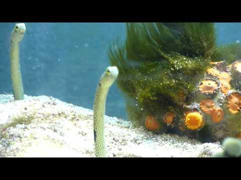 Garden Eels With Pipefish