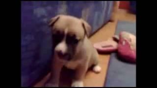 Vicious Pitbull Attacks Puppies