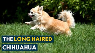 Long Haired Chihuahua: Everything About This Sassy and Sweet Companion Dog!