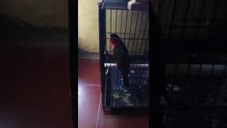Keunikan jenis-jenis Burung peliharaan yg dapat ngoceh dan berkicau