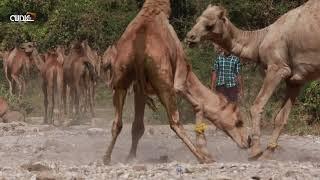 خطول الابل بوادي جرزيز ٢٠١٨/ولاية صلالة / محافظة ظفار / سلطنة عمان