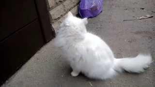 Кошка с разноцветными глазами пытается попасть домой