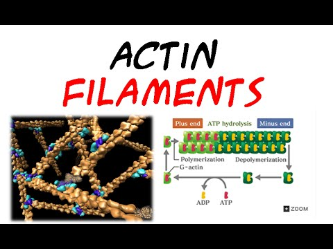 Actin filaments | structure and assembly