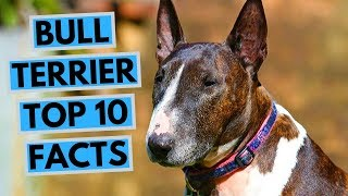 Bull Terrier - TOP 10 Interesting Facts
