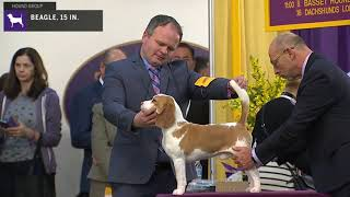 Beagles 15 In. | Breed Judging 2020
