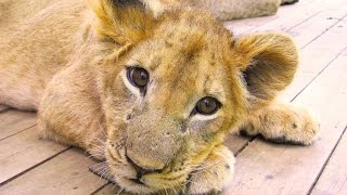 Volunteer in Africa - Chipangali Wildlife Orphanage