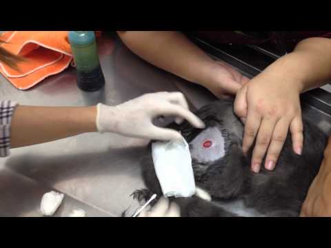 How to clean a cat's wound