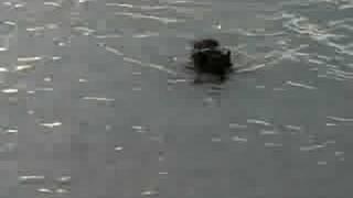 海を泳ぐエボニー.