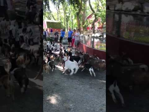 Running of the Goats at Beacon Hill Park - Victoria, BC