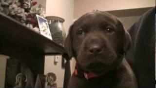 Day 35 - Mocha's Chocolate Labrador Retriever Puppies Are 5 Weeks!
