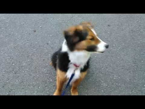 Cedar - a dog available for adoption through Pacific Northwest Border Collie Rescue