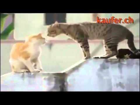 lustige katzen videos zum totlachen , katzen lustig , Katzenvideo lustig youtube original