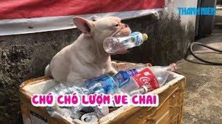 Chú chó lượm ve chai ngầu nhất Hà Nội
