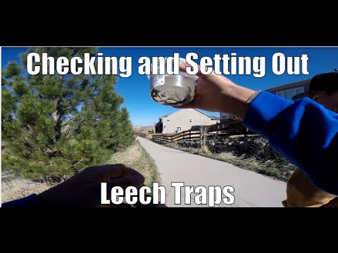 Checking And Setting Leech Traps