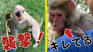 闘犬種とか言いながら、結構ななごみ系動画です(笑)。もやちゃんJr.の...