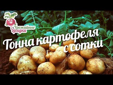 Как получить тонну картофеля с сотки? #urozhainye_gryadki