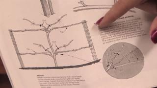 Gardening Tips : How to Prune Boysenberries