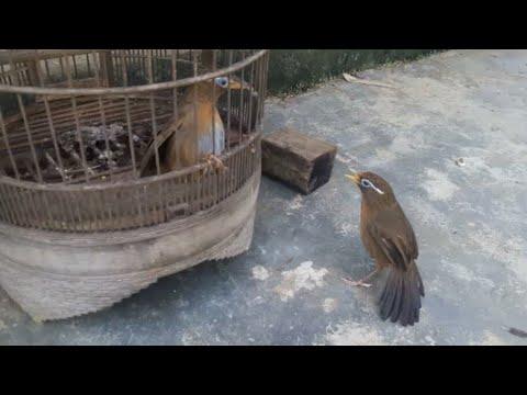 Họa Mi 2262 (ĐÃ BÁN) bên trái mỏ vàng chim nuôi từ non lên bác nào mua về nghịch chơi alo 0355863080