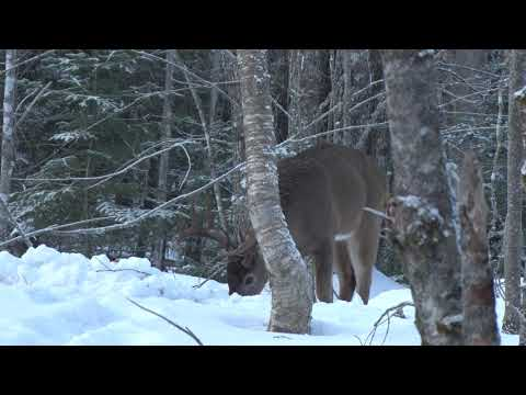 Nova Scotia Record Book Whitetail Buck 2019