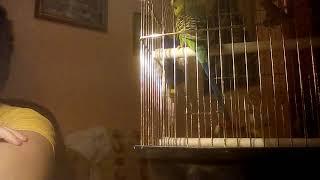 Как я обучаю своего попугая разговаривать