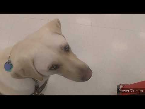People Distract Guide Dog At Store