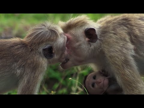 Macaque Hierarchy: Dealing with Bullies | BBC Earth