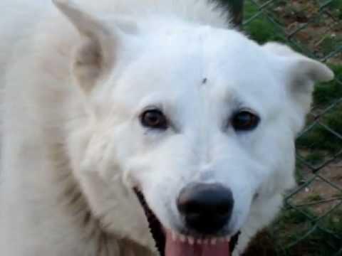White German Shepherd For Sale In Egypt Youtube