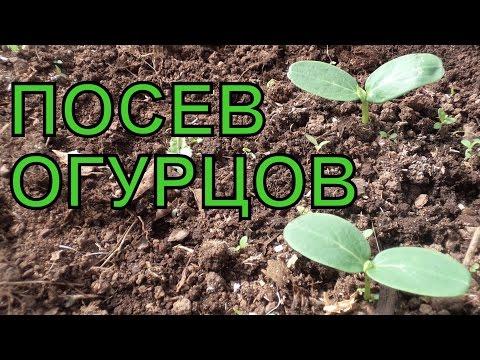 ВЫРАЩИВАНИЕ ОГУРЦОВ. Подготовка ГРЯДКИ и ПОСЕВ семян