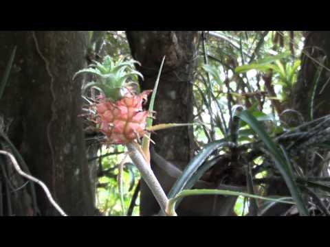 Bromélias, mini abacaxi, Ananas ananassoides,