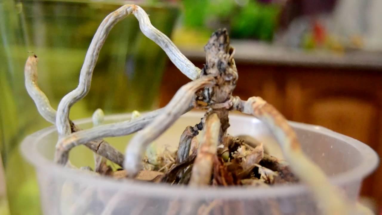 Как реанимировать орхидею без листьев но с корнями