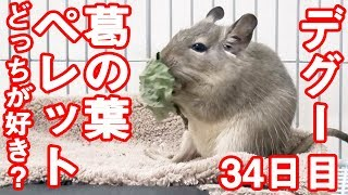デグー「葛の葉とペレットどっちが好き?」degu eat snack#0033