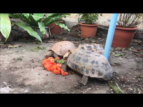 Elongated Tortoises Munching