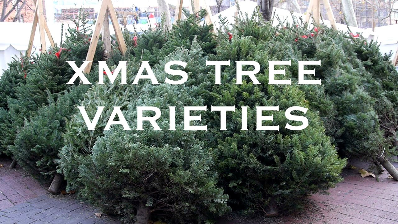 Christmas Tree Types.Live Christmas Tree Varieties Sohotrees Com 5 Xmas Tree Species