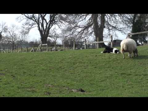 Ewe gotta be kidding: birth of the geep