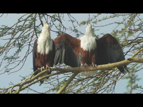 Resilience: The Story Of Naivasha Through The Eyes Of An African Fish Eagle