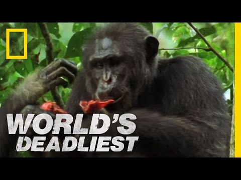 Killers Like Us: Chimpanzees | World's Deadliest