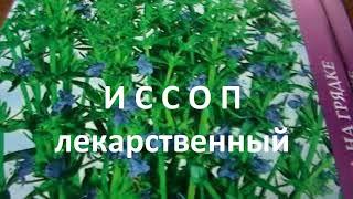 Лекарственные травы: иссоп лекарственный-свойства, применение в медицине