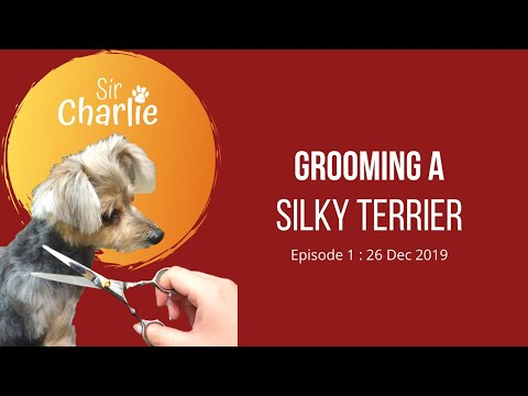 Grooming a Silky Terrier  Episode 1