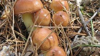 Тихая охота - Сбор грибов - Масленок - Подберезовик