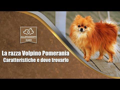 Il Volpino Pomerania - Caratteristiche e dove trovarlo - Documentario di Allevamenti Razze