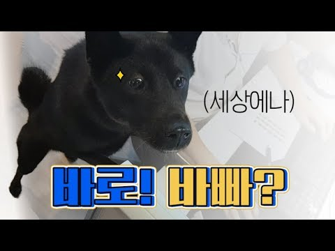 baro,-korean-jindo-dog,-gets-extremely-angry-at-dog's-aggression?!-|-baro-is-busy.