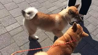 日本犬保存会展覧会・東京支部展@有明 りりも出陳してきました。 知り...