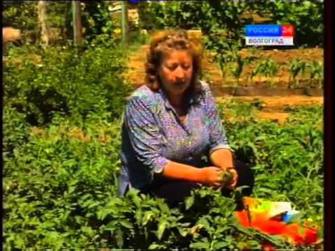 видео: Болезни томата: Фитофтора. Средства борьбы.